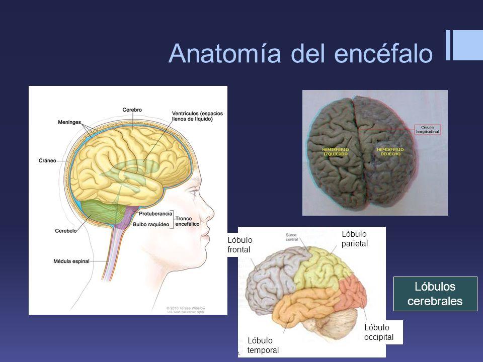 Anatomía del encéfalo Lóbulos cerebrales Lóbulo parietal