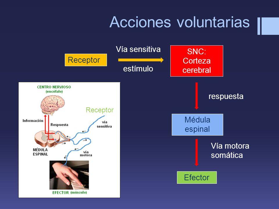 Acciones voluntarias Vía sensitiva SNC: Corteza cerebral Receptor