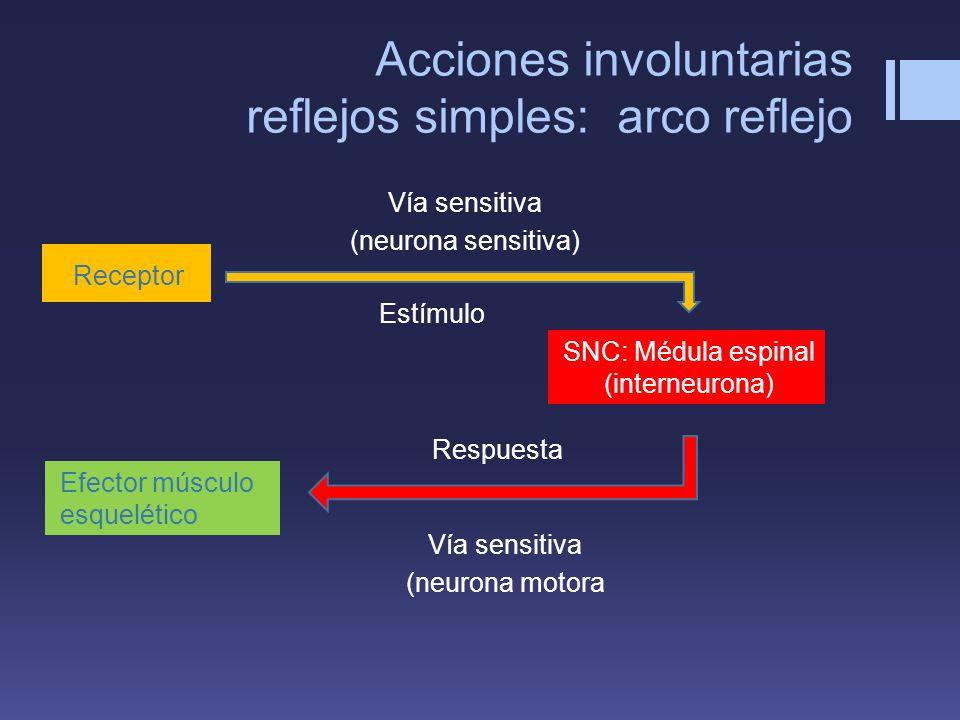 Acciones involuntarias reflejos simples: arco reflejo