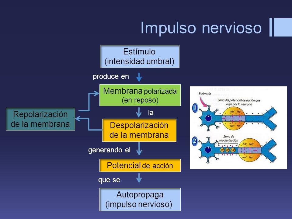 Impulso nervioso Estímulo (intensidad umbral)