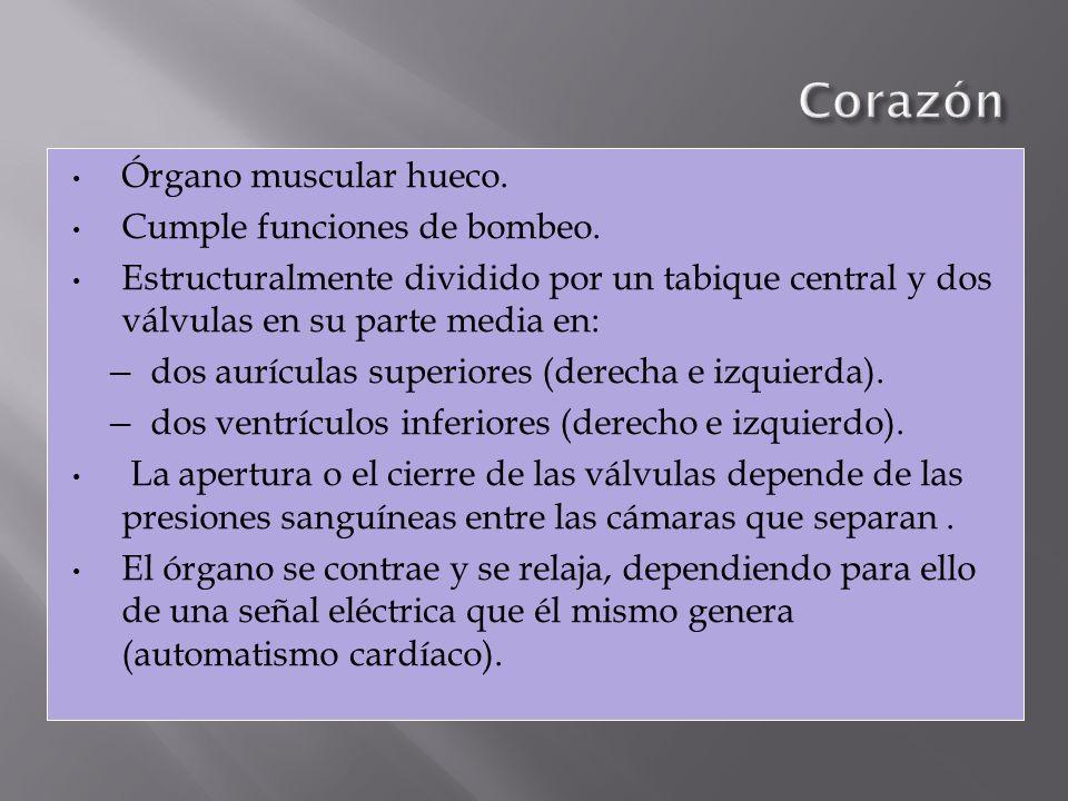 Corazón Órgano muscular hueco. Cumple funciones de bombeo.