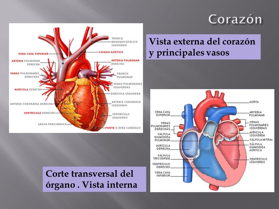 Corazón Vista externa del corazón y principales vasos