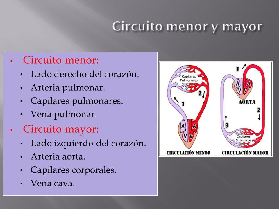 Circuito Mayor : Sistema circulatorio ppt descargar
