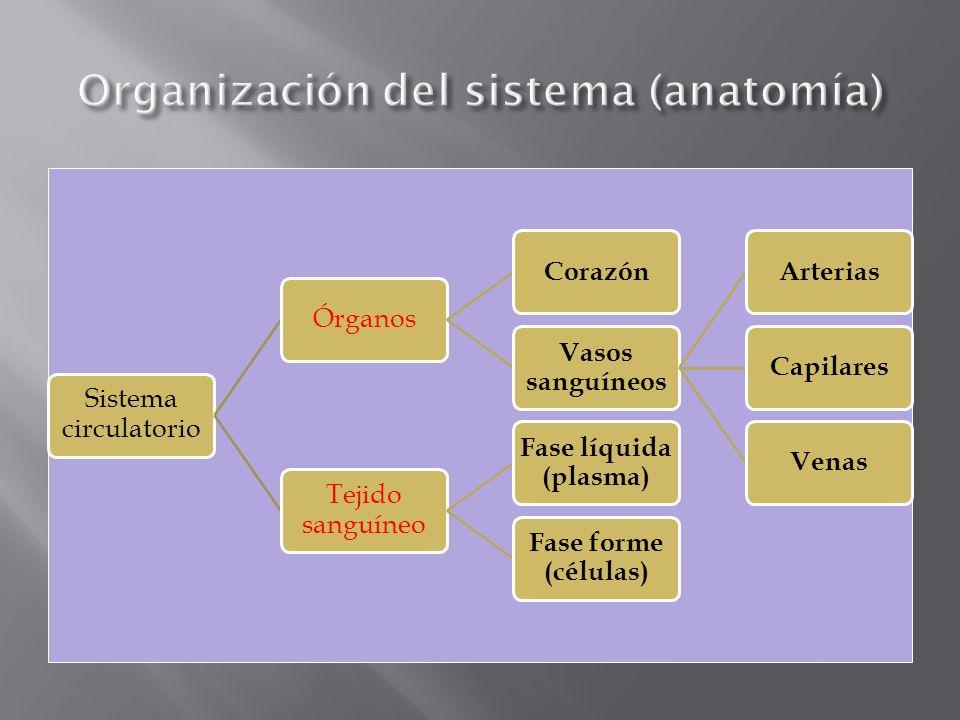 Organización del sistema (anatomía)