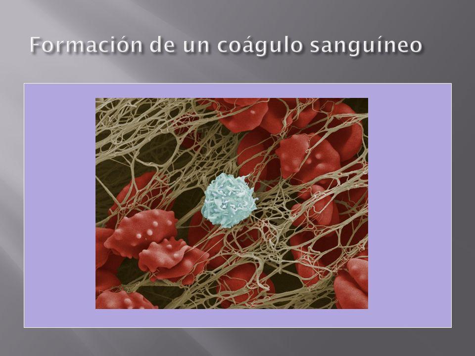 Formación de un coágulo sanguíneo