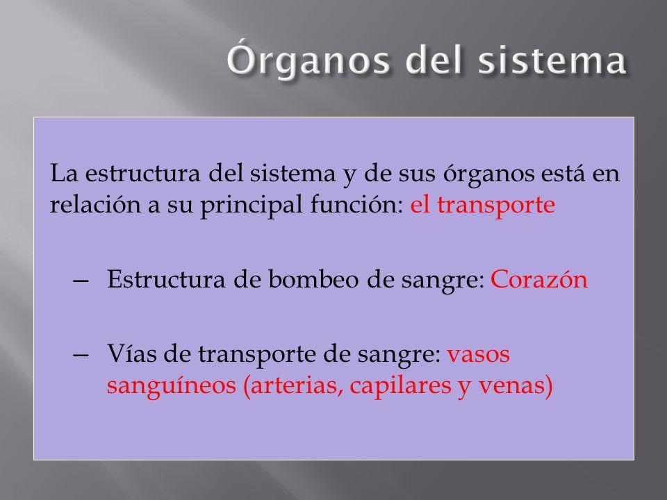 Órganos del sistema La estructura del sistema y de sus órganos está en relación a su principal función: el transporte.