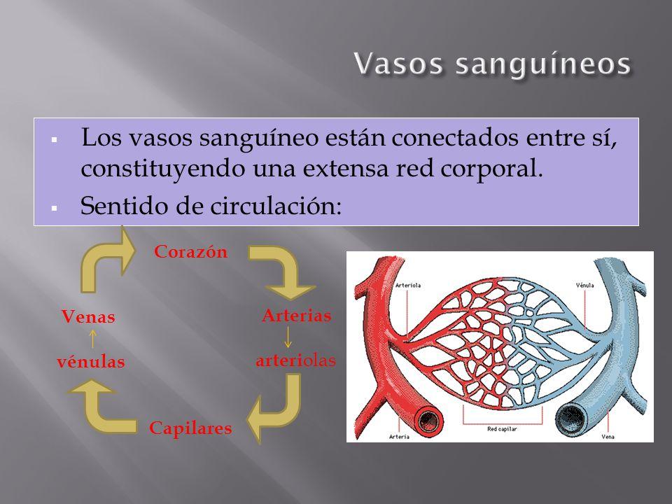 Vasos sanguíneos Los vasos sanguíneo están conectados entre sí, constituyendo una extensa red corporal.