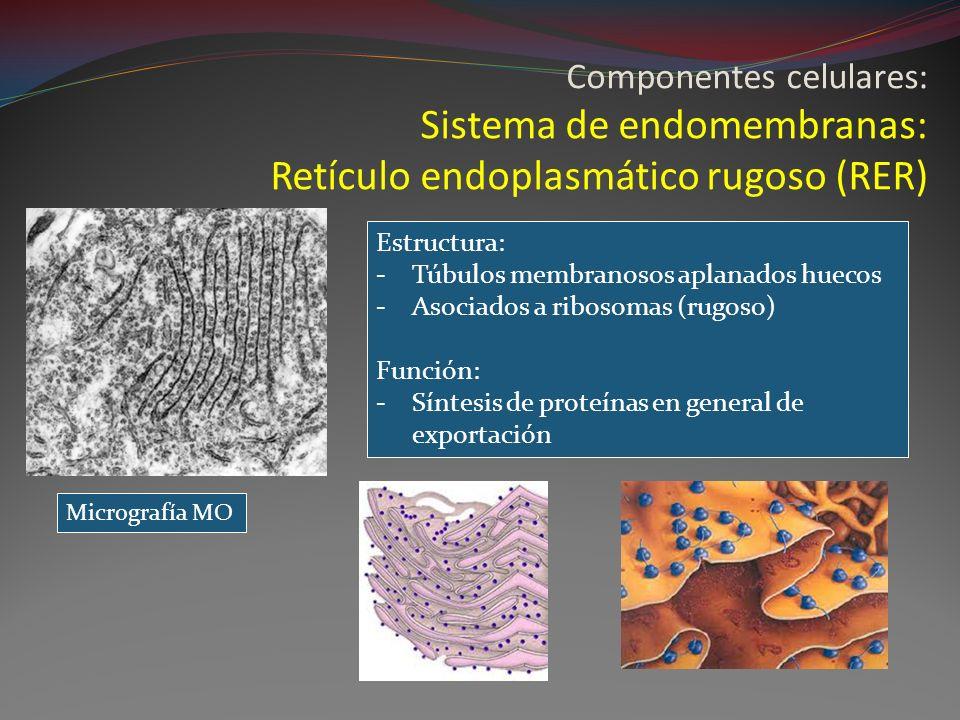 Componentes celulares: Sistema de endomembranas: Retículo endoplasmático rugoso (RER)