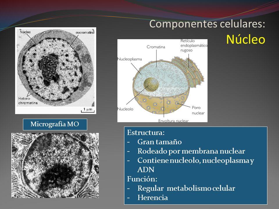 Componentes celulares: Núcleo