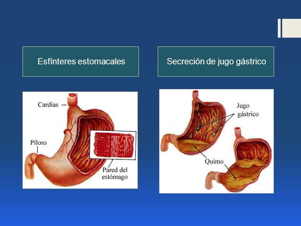 Esfínteres estomacales Secreción de jugo gástrico