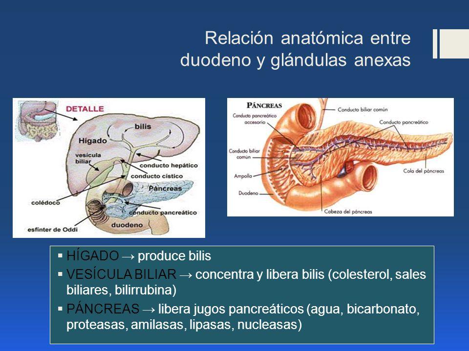Relación anatómica entre duodeno y glándulas anexas