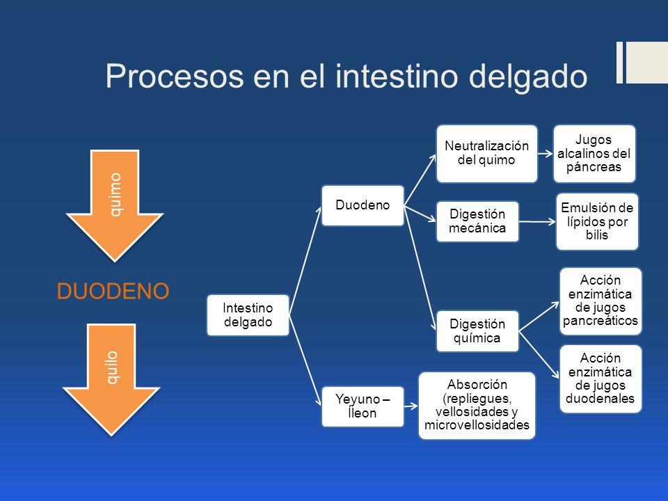 Procesos en el intestino delgado