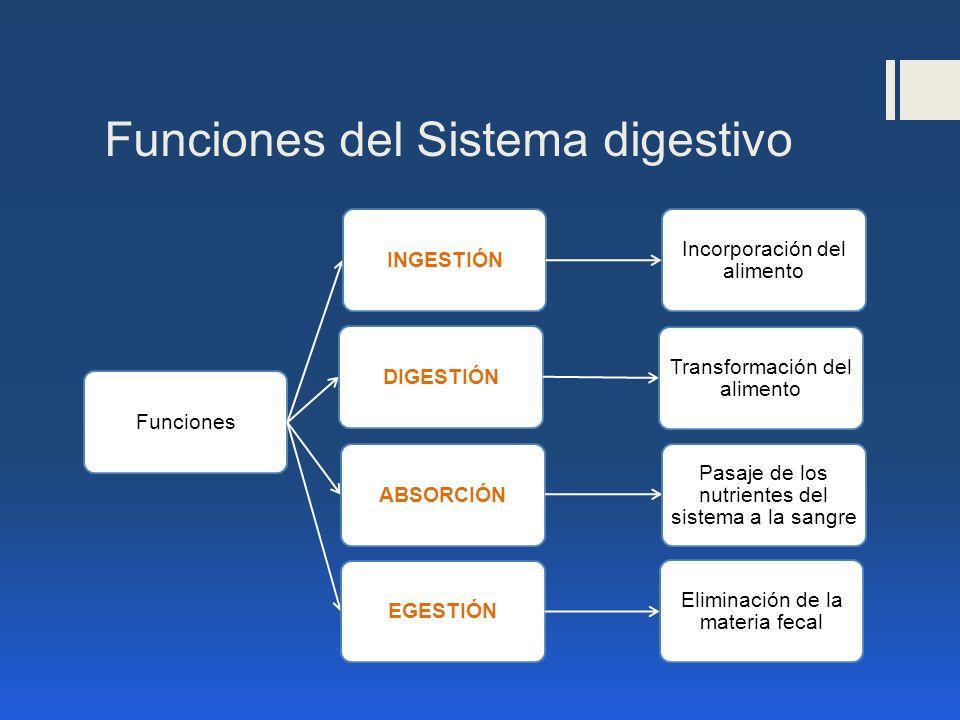 Funciones del Sistema digestivo