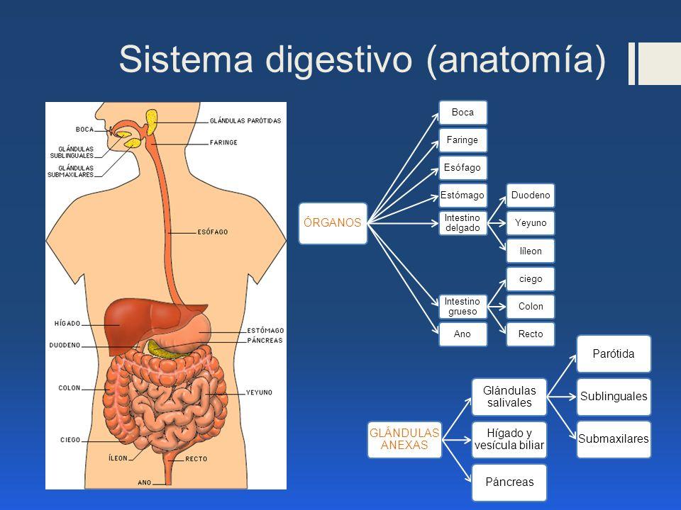 Sistema digestivo (anatomía)