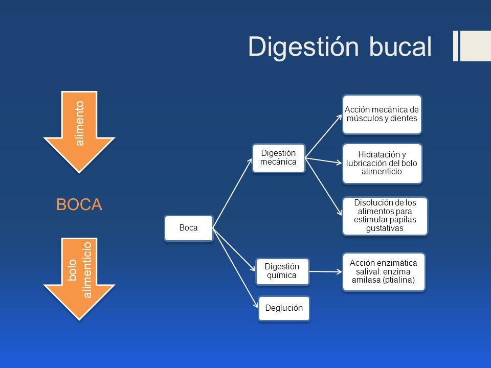 Digestión bucal BOCA alimento bolo alimenticio Boca Digestión mecánica