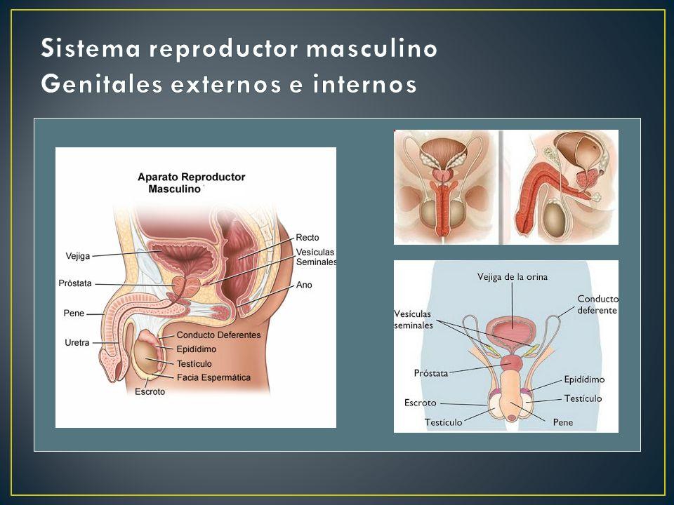 Sistema reproductor masculino Genitales externos e internos
