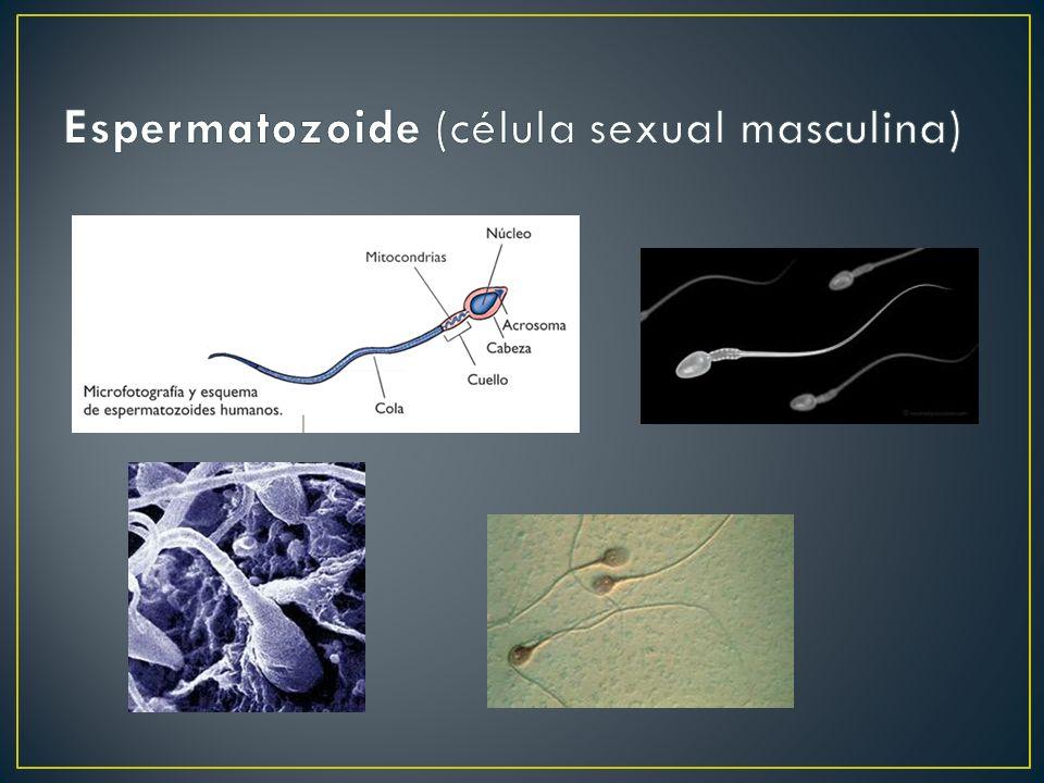 Espermatozoide (célula sexual masculina)