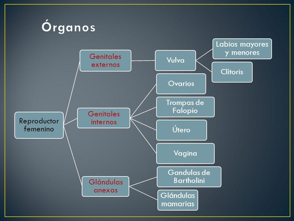 Órganos Labios mayores y menores Glándulas mamarias Genitales externos