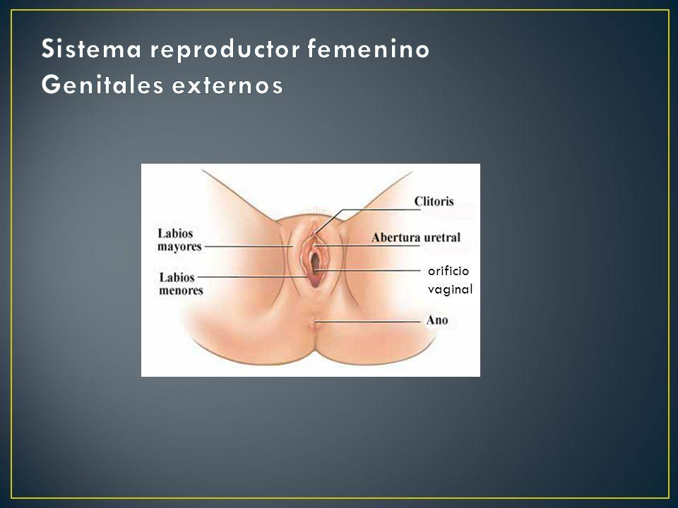 Sistema reproductor femenino Genitales externos