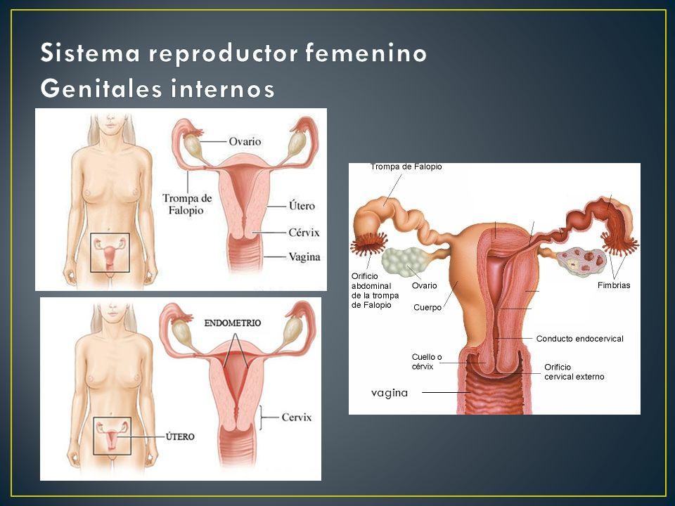 Sistema reproductor femenino Genitales internos