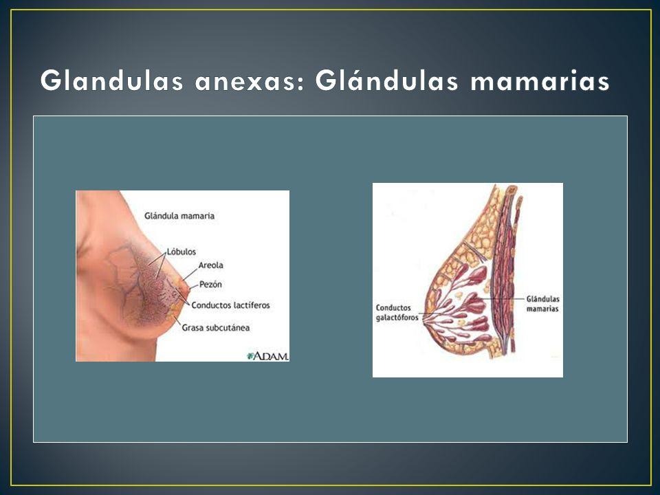 Glandulas anexas: Glándulas mamarias