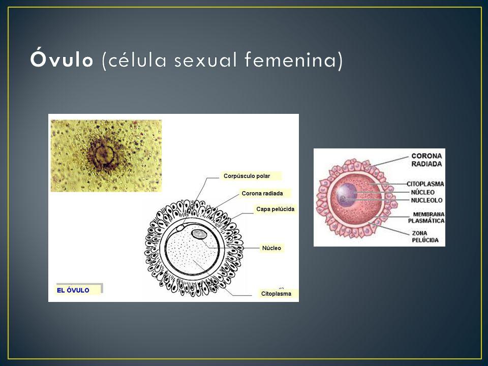Óvulo (célula sexual femenina)
