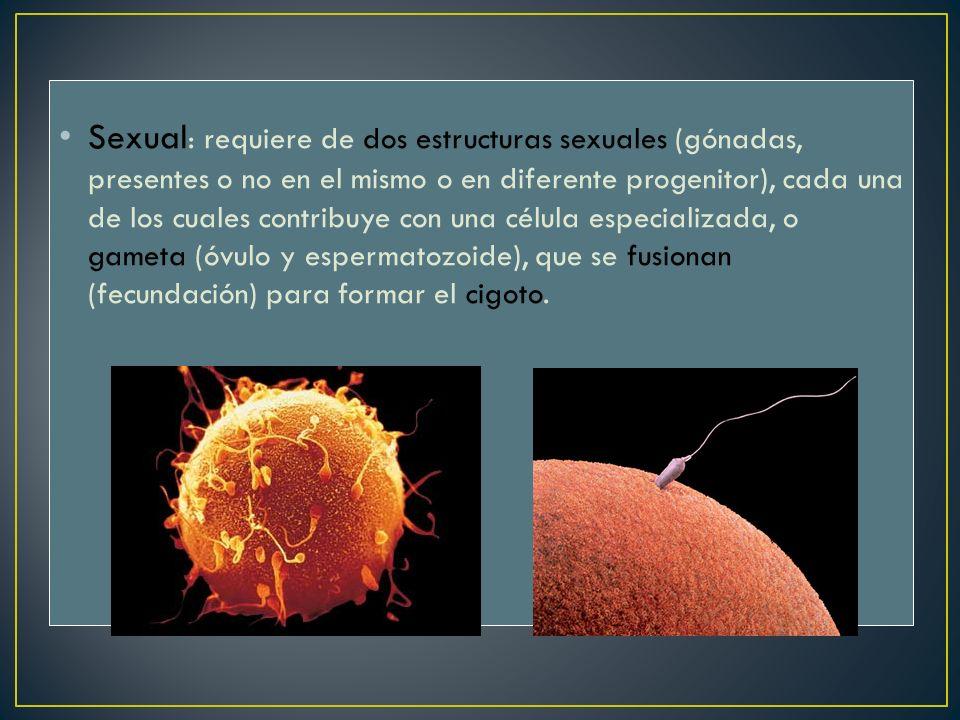 Sexual: requiere de dos estructuras sexuales (gónadas, presentes o no en el mismo o en diferente progenitor), cada una de los cuales contribuye con una célula especializada, o gameta (óvulo y espermatozoide), que se fusionan (fecundación) para formar el cigoto.