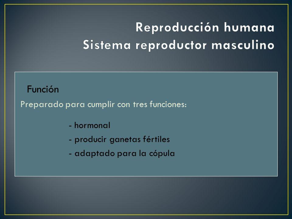 Reproducción humana Sistema reproductor masculino