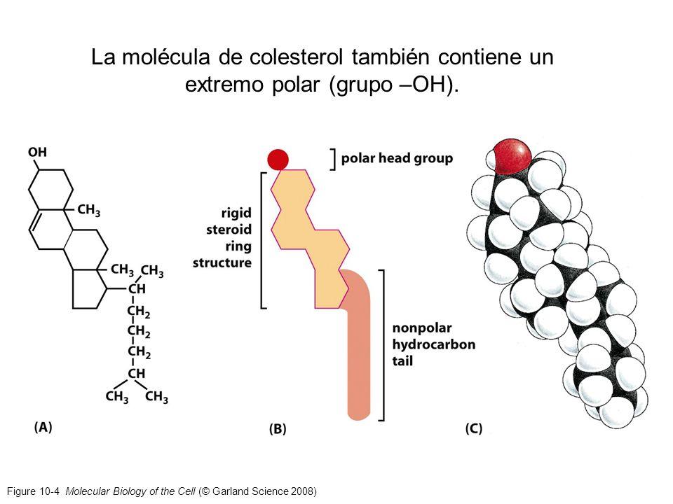 La molécula de colesterol también contiene un extremo polar (grupo –OH).