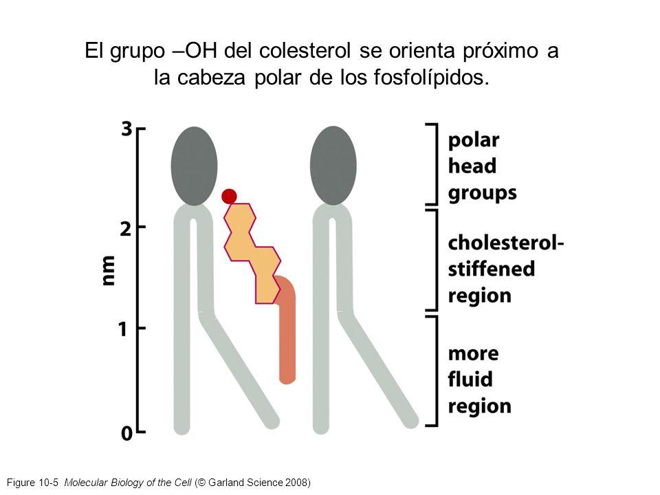 El grupo –OH del colesterol se orienta próximo a la cabeza polar de los fosfolípidos.