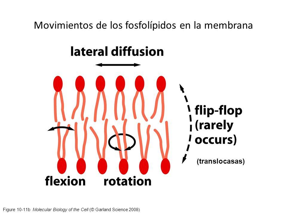 Movimientos de los fosfolípidos en la membrana