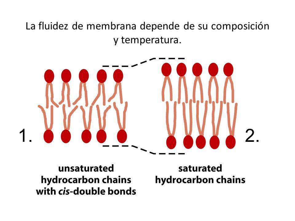 La fluidez de membrana depende de su composición y temperatura.