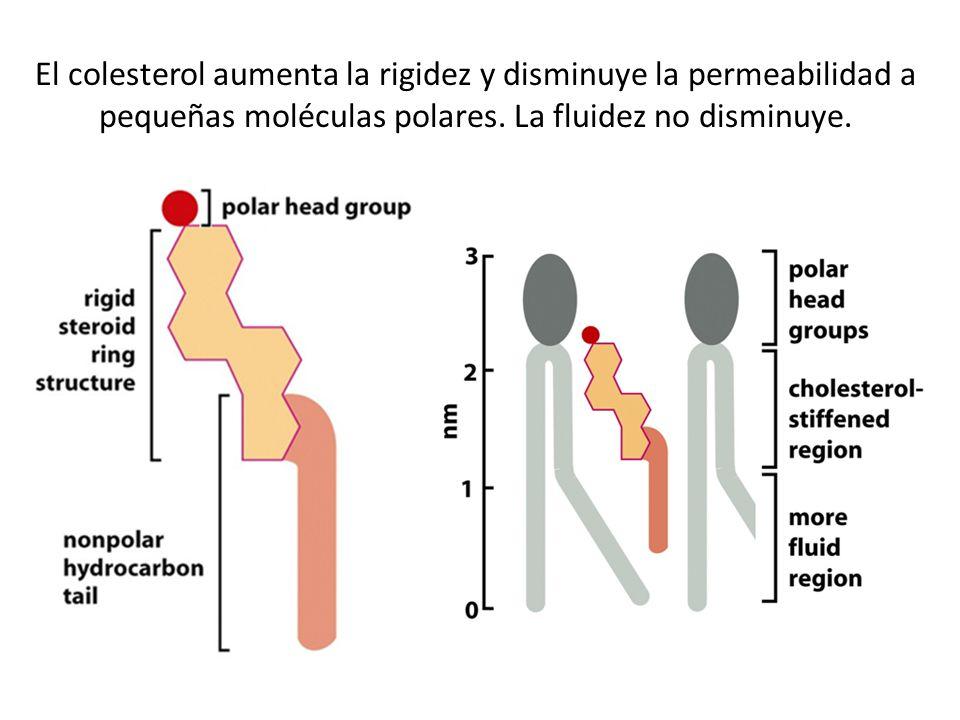 El colesterol aumenta la rigidez y disminuye la permeabilidad a pequeñas moléculas polares.