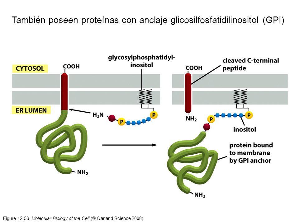 También poseen proteínas con anclaje glicosilfosfatidilinositol (GPI)