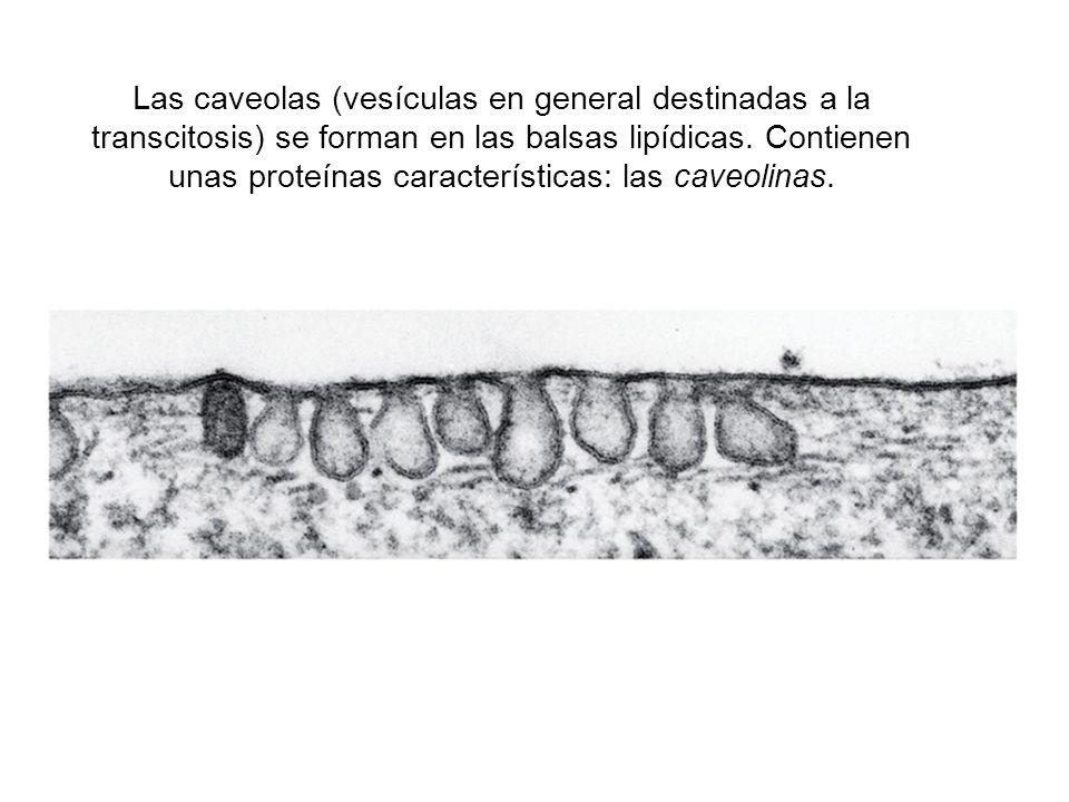 Las caveolas (vesículas en general destinadas a la transcitosis) se forman en las balsas lipídicas.