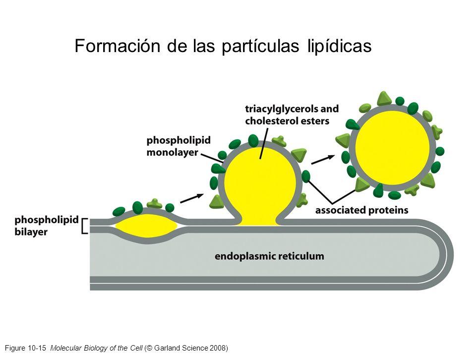 Formación de las partículas lipídicas