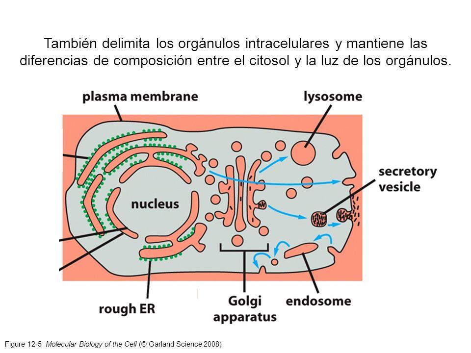 También delimita los orgánulos intracelulares y mantiene las diferencias de composición entre el citosol y la luz de los orgánulos.