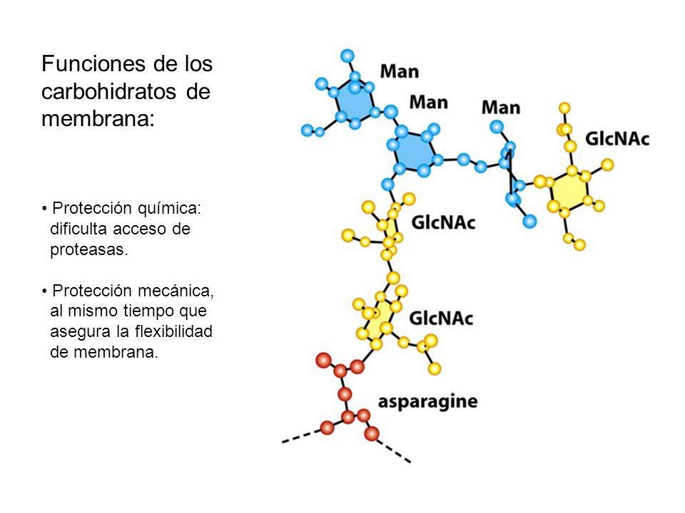 Funciones de los carbohidratos de membrana: