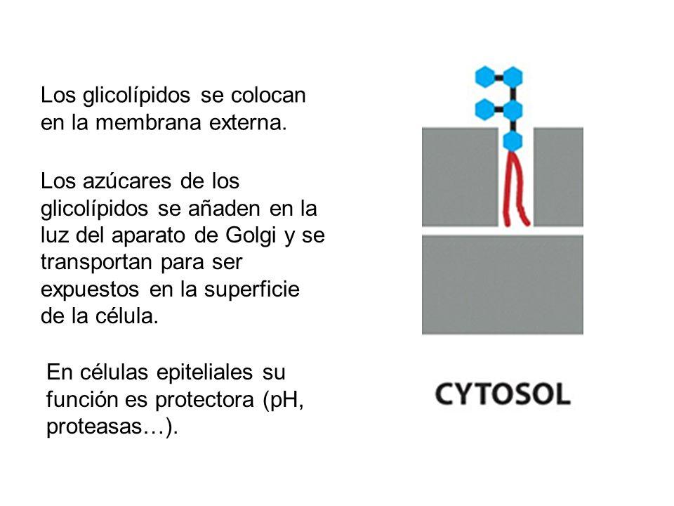 Los glicolípidos se colocan en la membrana externa.