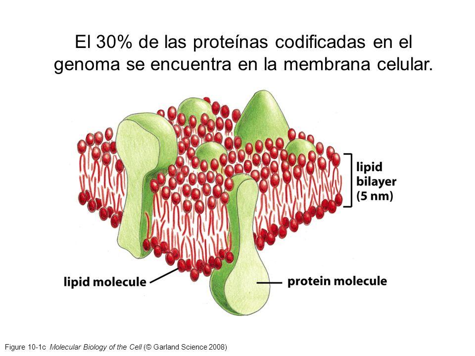 El 30% de las proteínas codificadas en el genoma se encuentra en la membrana celular.