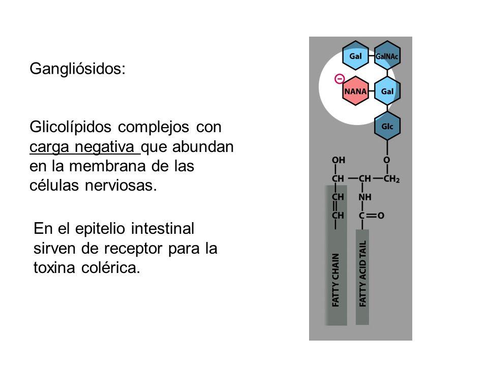 Gangliósidos: Glicolípidos complejos con carga negativa que abundan en la membrana de las células nerviosas.