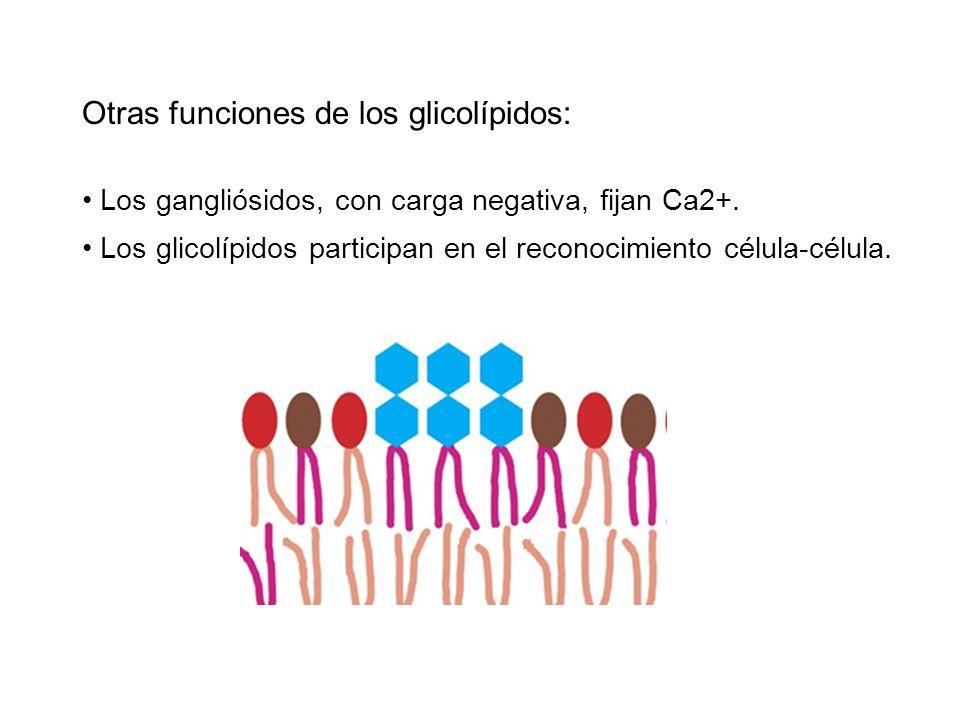Otras funciones de los glicolípidos: