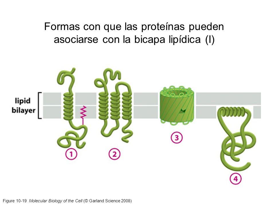 Formas con que las proteínas pueden asociarse con la bicapa lipídica (I)