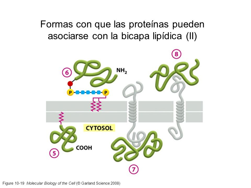 Formas con que las proteínas pueden asociarse con la bicapa lipídica (II)