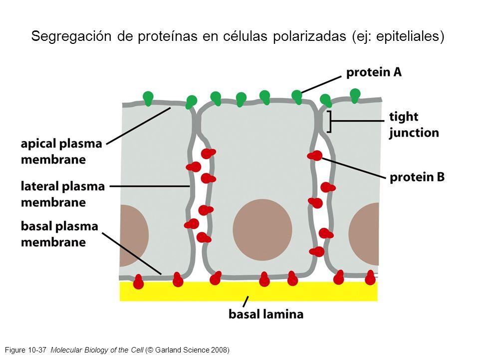 Segregación de proteínas en células polarizadas (ej: epiteliales)