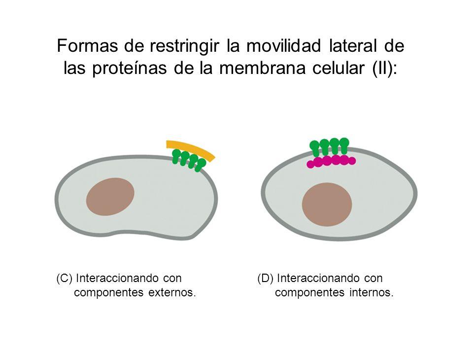 Formas de restringir la movilidad lateral de las proteínas de la membrana celular (II):