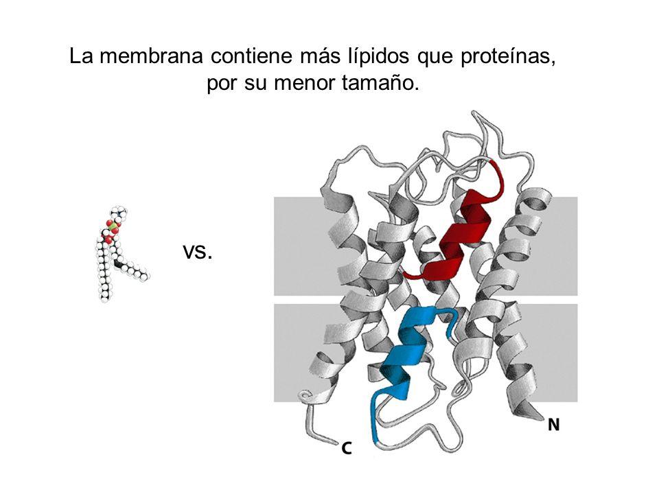 La membrana contiene más lípidos que proteínas, por su menor tamaño.