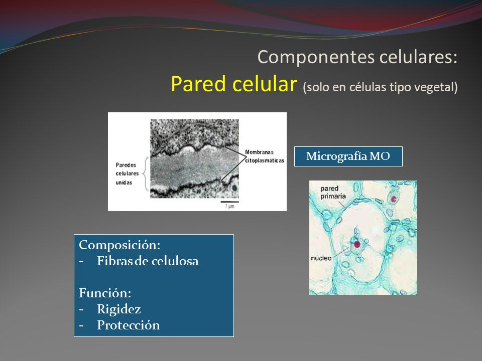 Componentes celulares: Pared celular (solo en células tipo vegetal)