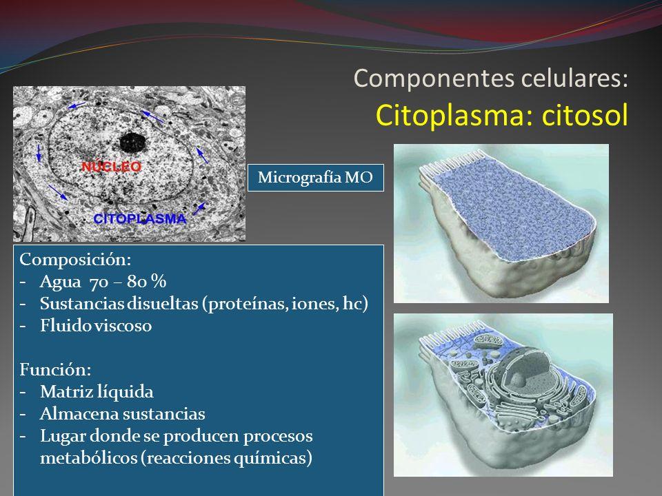 Componentes celulares: Citoplasma: citosol
