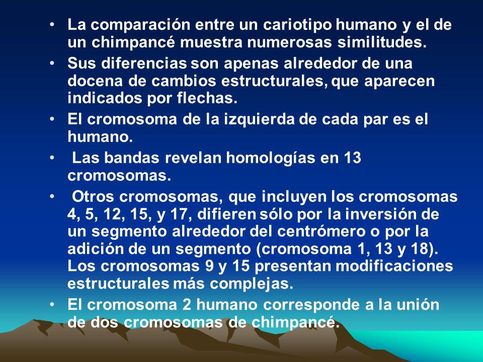 La comparación entre un cariotipo humano y el de un chimpancé muestra numerosas similitudes.